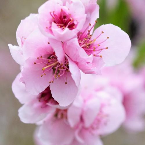 Peach blossom 500x500